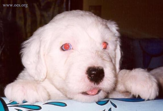 Baby Bently Blue, a very little 6 week old all white Old English Sheepdog Puppy, with bright red eyes, and a little itty bitty tongue poking out of his mouth.