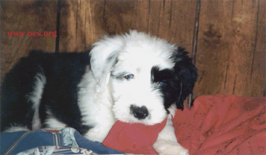 Bear, a cute little Old English Sheepdog Puppy, playfully chews on the blanket of the human bed on which he is lying.