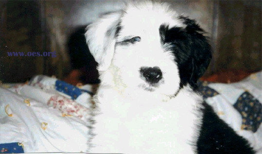 Bear, a cute little Old English Sheepdog Puppy, looking very cute on the human bed.