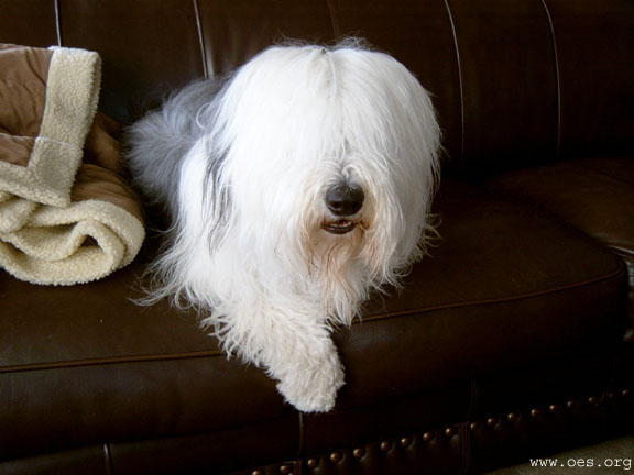 Old English Sheepdog Bently sitting in a nice brown leather couch with one paw hanging over the front edge.