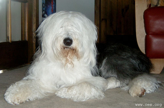 Old English Sheepdog Bently lying majestically on the carpet, with his head up and one paw folded under.