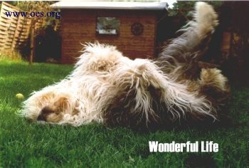 Flocke the Old English Sheepdog is lying on her back, wagging her feet in the air.  The photo is titled Wonderful Life.