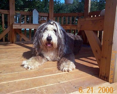 Higgins the Old English Sheepdog with his hair in a pony tail above his eyes, lying  on a natural wooden gazeebo.