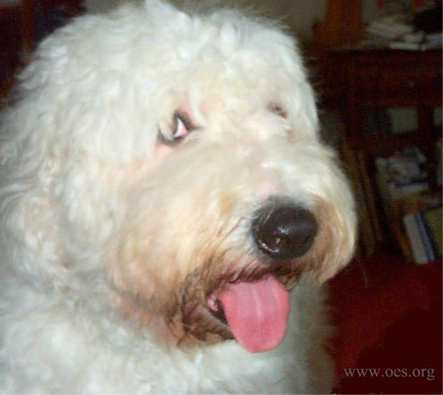 Closeup of an Old English Sheepdog with a huge white head and big pink tongue cutely hanging out.