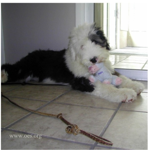 Four Month old Humphrey the Old English Sheepdog lying on a big tiled floor with a Booda doll in his mouth.