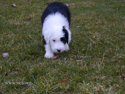 A 10 week old Old English Sheepdog Puppy walking in the grass in a stalking manner coming towards the camera.