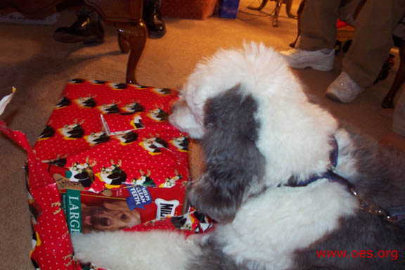 Jake the Old English Sheepdog, lying down, carefully opens a (huge!) red present. Between the ripped strips of wrapping paper, you can see that there are dog cookies inside.