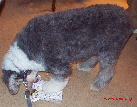 Jake the Old English Sheepdog, standing, carefully opens a wrapped present wrapped in white.