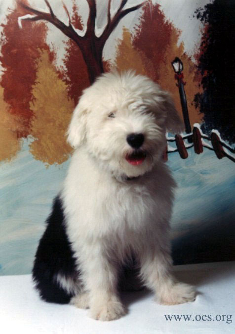 Professional photo pf Phoebe, a four and one half month old Old English Sheepdog, in front of an impressionistic fall and winter scene.
