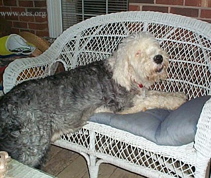Raleigh the Old English Sheepdog  half on (his front half) and half off a white wicker sofa.