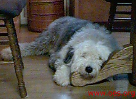 Sampson the Old English Sheepdog lying under the kitchen table with his head up on one of the legs of the table.