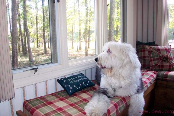 Sampson lying in a red plaid window seat with woods outside. Pliiow on seat reads To Err is Human, To Forgive Canine.