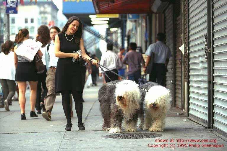 A woman walks her two Sheepdogs on a busy sidewalk in New York City