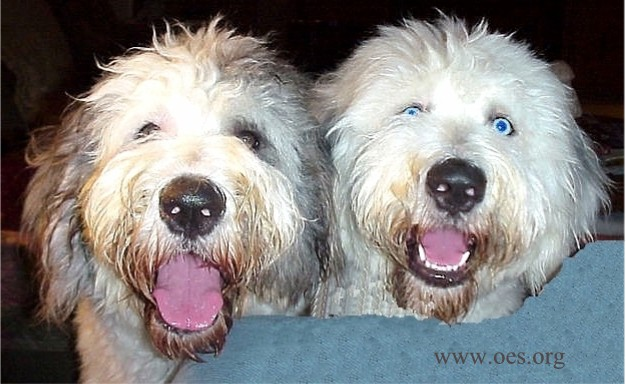 A closeup of two very excited and bright eyed Old English Sheepdogs peering over a blue couch.  The dog on the right has extremely blue eyes.