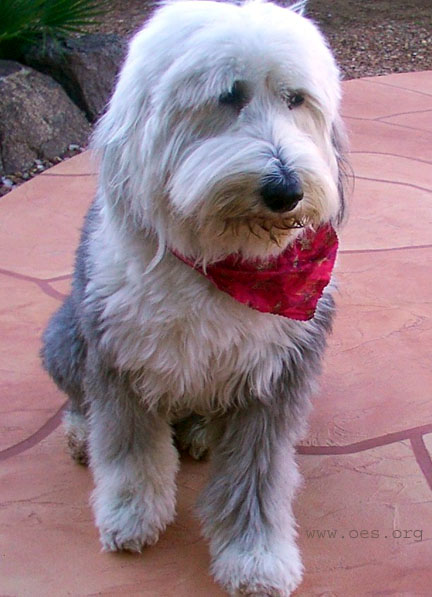 Sheepdog sitting on a pink slate patio wearing a red bandana