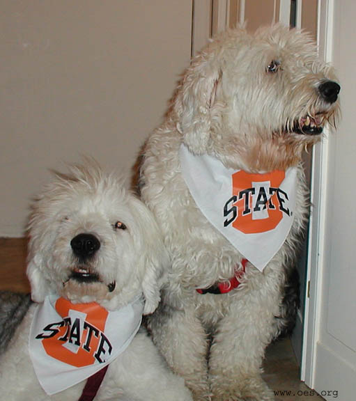 Two sheepdogs wearing bandanas with the logo of Oklahoma State