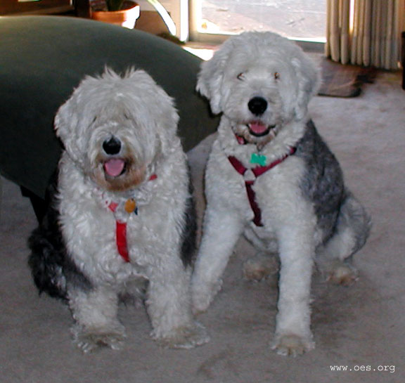 two sheepdogs wearing halter style leads waiting to go for a walk