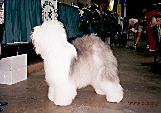 An Old English Sheepdog posing at a dog show.