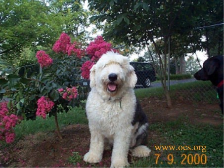 Widget the Old English Sheepdog sitting posed next to a Crepe Myrtle plant, while a nosey Black Lab looks in from the edge of the picture.