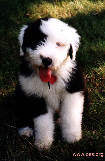 Annie the Old English Sheepdog poses for the camera.
