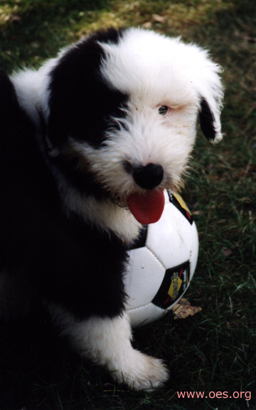 Annie the Old English Sheepdog poses with a soccer ball